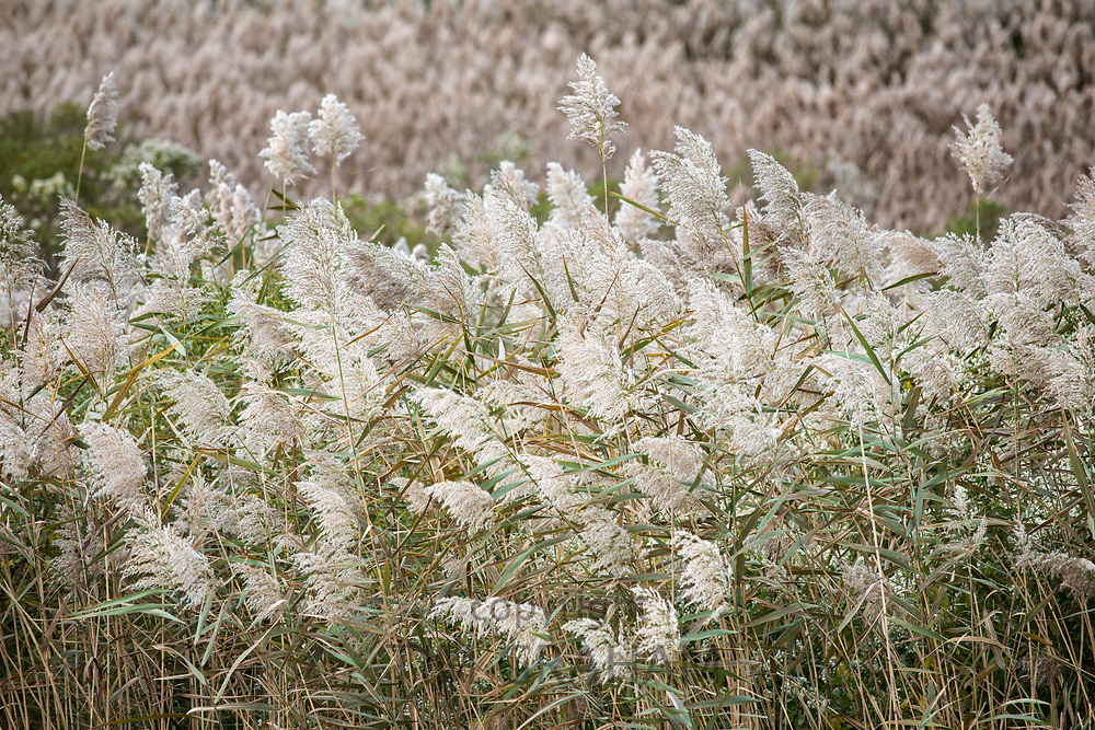 Reeds blowing in the wind in salt marsh on Cape Cod, Massachusetts, USA