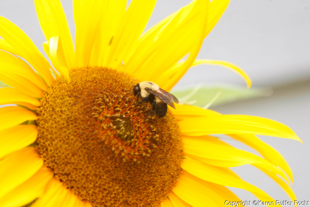 A bee lands on a sun flower.