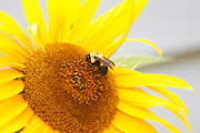 A bee lands on a sun flower.