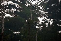 USA ALASKA 24JUN12 - Bald eagle nests in a ccenic landscape on the Alaska Railroad coastal classic train route from Anchorage to Seaward...Photo by Jiri Rezac / Greenpeace