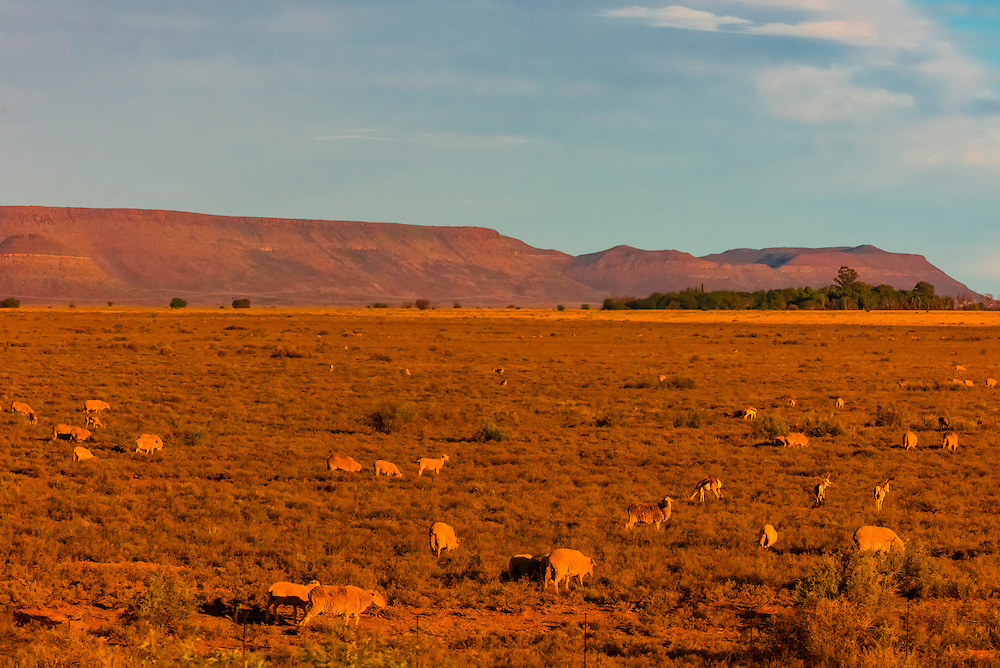 """Sheep grazing, Rovos Rail train  """"Pride of Africa"""" crosses the Great Karoo Desert on it's journey between Pretoria and Cape Town, South Africa."""