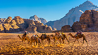 Bedouin man and his camels, Arabian Desert, Wadi Rum, Jordan.