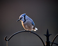 Blue Jay. Image taken with a Nikon D5 camera and 600 mm f/4 lens (ISO 1600, 600 mm, f/4, 1/640 sec)
