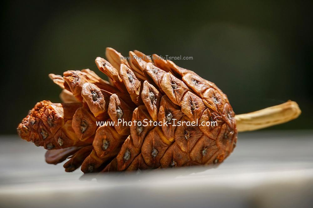 Single pine cone on the ground