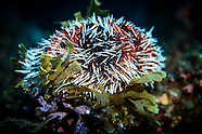 Tripneustes gratilla (pied urchin or white-spined urchin)