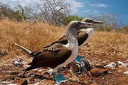 A pair of Blue-footed Booby (Sula nebouxii) seabirds standing next to each other, Galapagos Islands National Park, North Seymour Island, Galapagos, Ecuador