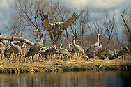 Sandhill Cranes, Platte River Valley, Nebraska.  Descending into a council of cranes, a sandhill spreads its wings to land on the bank of the south channel of the Platte. A system of inter-connected sloughs and wetlands along the Platte traverse adjacent wet meadows and native prairies. Intimately tied to groundwater, these side-channels and sloughs provide quiet midday refuges and food sources away from the river.