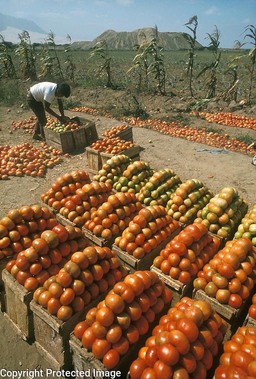 Tomato harvest near Trujillo, northern Peru; ruins in background are Huaca el Obispo