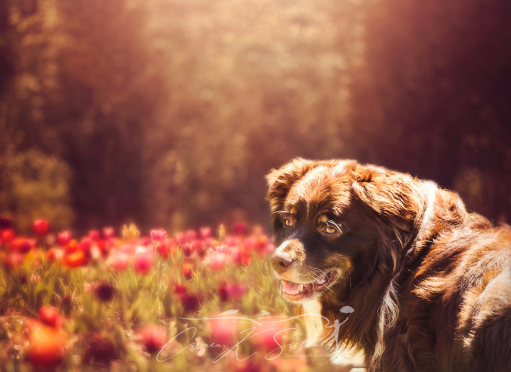 Cowboy, a six-year-old Australian Shepherd, is pictured in a field of tulips in this composite photo, September 23, 2014, in Coden, Alabama. (Photo by Carmen K. Sisson/Cloudybright)