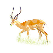 Digitally enhanced image of a side view of a male  impala (Aepyceros melampus). Photographed in Africa, Tanzania, Lake Manyara National Park,