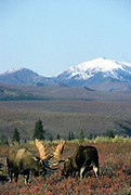 Bull moose squaring off, Denali National Park, Alaska