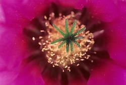 Pink Hedgehog Cactus blossom (Echinocereus fendleri), Arizona-Sonora Desert Museum, Tucson, Arizona, United States