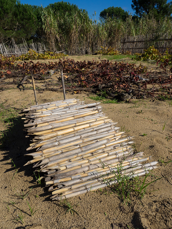 Stakes used to elevate ramisco vines off the sand