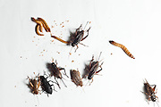 Betim_MG, Brasil.<br /> <br /> Insetos criados na Nutrinsecta para consumo humano  animal. Na foto grilo, baratas e larvas de tenebre.<br /> <br /> Insects created in Nutrinsecta for human and animal consumption. In this photo crickets,  cockroaches,Tenebrio molitor, Darkling beetle.<br /> <br /> FotoJOAO MARCOS ROSA / NITRO