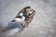 A ruddy turnstone in winter plumage preens its feathers as a wave breaks around it.