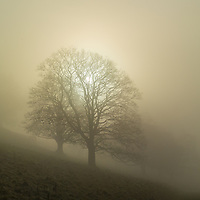 Backlit oak trees on a misty winter morning