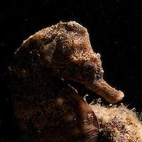 Hippocampus hippocampus
