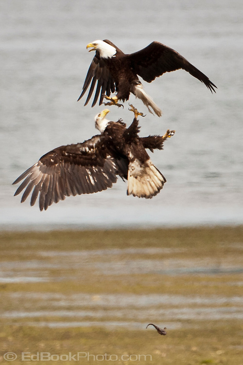 a pair of Bald Eagles are having a dispute over a fish one of them caught where they were both tumbling in the air and dropped the fish.  One of the eagles is an adult and the other immature.  Big Beef Creek on the Hood Canal of Puget Sound, Washington, USA