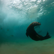 Sea lion playing under crashing wave art print.