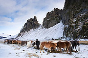 Herd of Icelandic ponies grazing in South Iceland