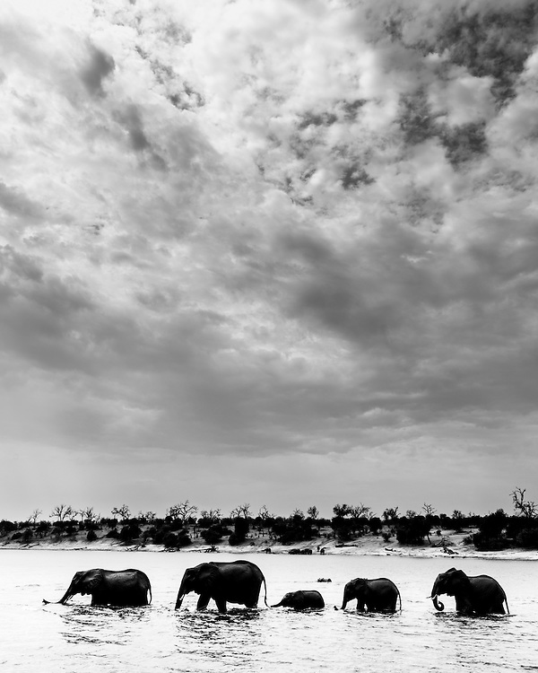 A small group of Elephants, Loxodonta africana, crossing the Chobe River, Botswana. Converted into B/W for more contrast.