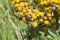 insects on wildflowers on Inis Oirr Island the Aran Islands County Galway Ireland