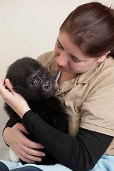 © Licensed to London News Pictures. 17/01/2012. FILE PICTURE. Twycross, UK. Okanda the baby gorilla at Twycross Zoo in Leicestershire, UK, who leaves for Germany today (Tuesday 17th January 2012). In October 2011 Okanda fell ill, possibly from a lack of nutrients from his mother's milk  and was withdrawn from the Gorrilla group for treatment. Despite efforts to reintroduce Okanda he was rejected by the group. Okanda will now be sent to Germany where he will be introduced to a new Gorilla group with gorillas of the same age where he will be able to fit in and learn from his peers. pictured with Zoo vet Sarah Chapman. Photo credit: Dave Warren/LNP