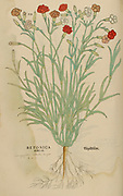 16th century, watercolor, hand painted woodcutting print of a Betonica Altilis plant from Leonhart Fuchs book of herbs: De Historia Stirpium Commentarii Insignes Published in Basel in 1542 The original manuscript this image is taken from shows signs of water damage