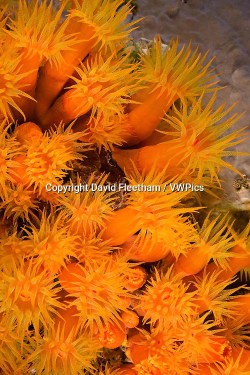 Orange cup coral in Bonaire. Orange cup coral, Tubastrea coccinea, polyps open by night, Bonaire, Netherlands Antilles, Caribbean Sea.