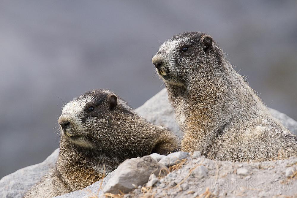 Hoary Marmot Pair