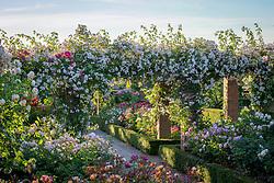 The Long Garden at David Austin Roses with Rosa 'Paul's Himalayan Musk' AGM growing over the pergola.