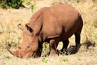 White Rhinoceros in the Masai Mara reserve in Kenya Africa