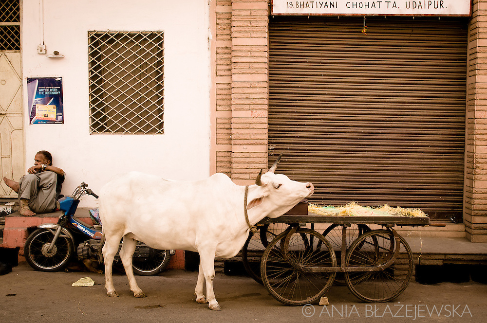 India, Udaipur. A cow and a cart on one of the streets in Udaipur.