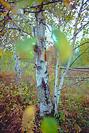 A birch tree with curling bark stands in colorful autumn surroundings.