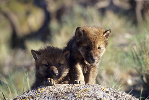 Gray Wolf, (Canis lupus) Young pups. Montana.  Captive Animal.