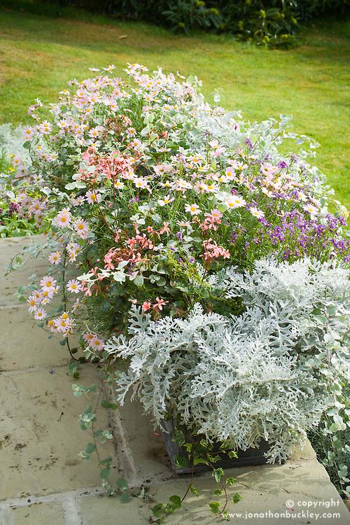 Finished troughs still flowering on the patio in autumn. Senecio cineraria, Nemesia Bluebird, Pelargonium and Helichrysum petiolare and Argyranthemum frutescens (Marguerite Daisy)