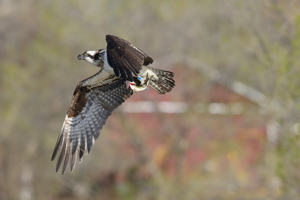 Three year old osprey female photographed at Wally Toevs Pond in Boulder, Colorado