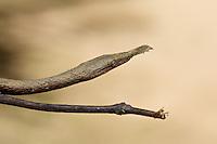 Madagascar leaf-nosed snake (Langaha madagasariensis) hiding in plain sight.