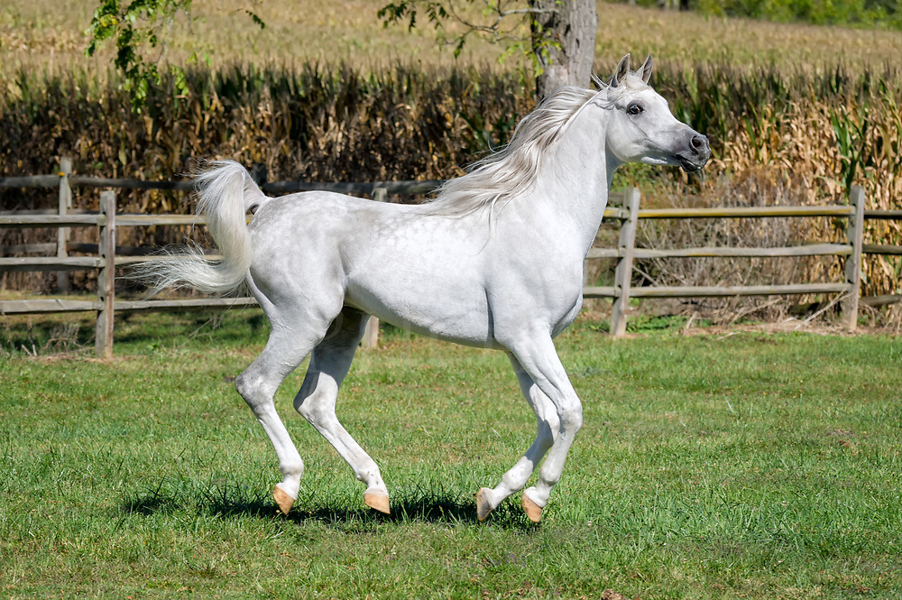Horse running in summer field in side view with all four feet off the ground, a very beautiful white Arabain stallion.