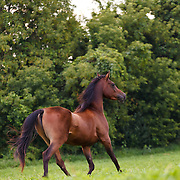 Bay Arabian horse with no bridle walking in green pasture