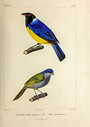 hand coloured sketch Top: hooded mountain tanager (Buthraupis montana) [Here as Tanagra montana]) Bottom: red-necked tanager (Tangara cyanocephala [Here as Tanagra cyanocephala]) From the book 'Voyage dans l'Amérique Méridionale' [Journey to South America: (Brazil, the eastern republic of Uruguay, the Argentine Republic, Patagonia, the republic of Chile, the republic of Bolivia, the republic of Peru), executed during the years 1826 - 1833] 4th volume Part 3 By: Orbigny, Alcide Dessalines d', d'Orbigny, 1802-1857; Montagne, Jean François Camille, 1784-1866; Martius, Karl Friedrich Philipp von, 1794-1868 Published Paris :Chez Pitois-Levrault et c.e ... ;1835-1847