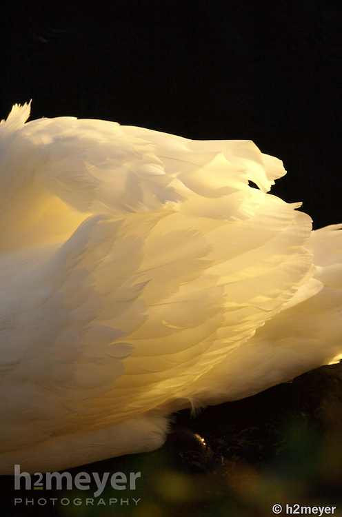 The rising sun on Galway's Claddagh Quay sheds light upon one swan's beautiful tail feathers.