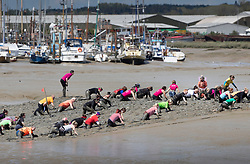 © Licensed to London News Pictures. 12/05/2019. Maldon, UK.Competitors crawl up the riverbank during the Maldon Mud Race in Essex. The race originated in 1973 and involves competitors racing around a course on the mudbanks of the river Blackwater at low tide. Photo credit: Peter Macdiarmid/LNP