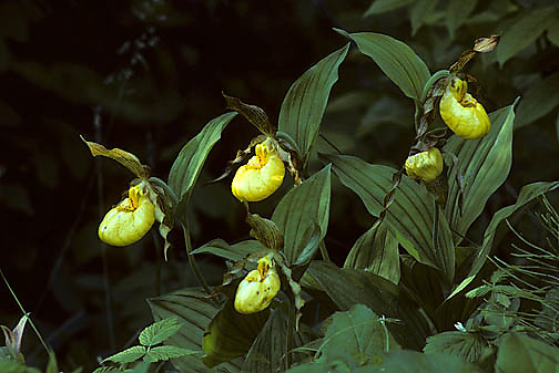 Yellow Lady's Slipper blooming in deep rich woods of Jay Cooke Park.