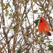 A cardinal perched in a hedgerow after newly fallen snow blanketed the area in Lexington, Ky., on Saturday, January 30, 2010. Photo by David Stephenson