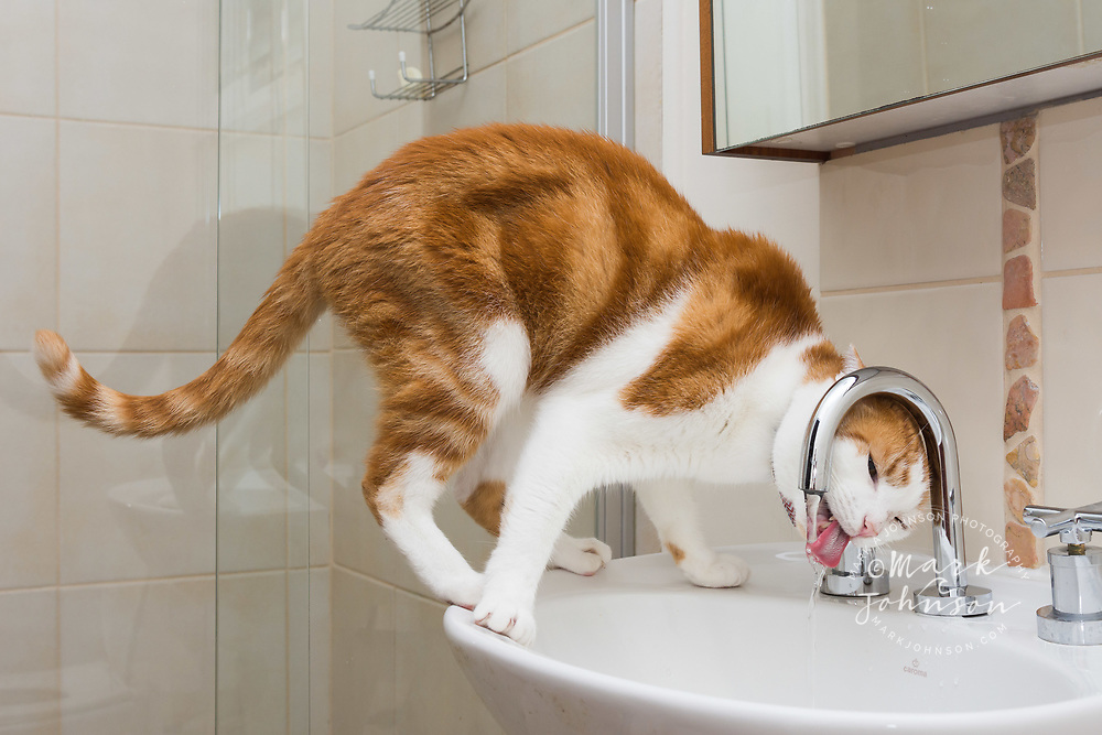 Pet cat drinking out of the bathroom faucet