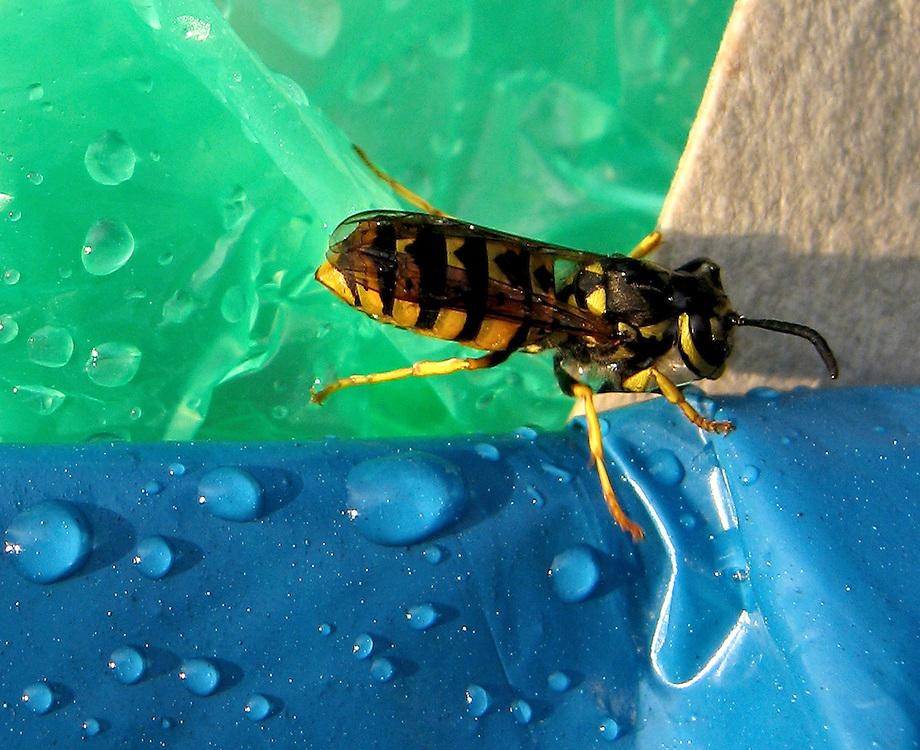 Nach einem Gewitterregen sitzt eine Wespe auf einem nassen blauen Muellsack eines Muelleimers         A wasp sits on a blue rubbish plastic bag after a rainy thunderstorm