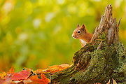 Red squirrel, poking its head out from behind a tree stump, surrounded by leaves in autumn colours at the Aigas Field Centre.