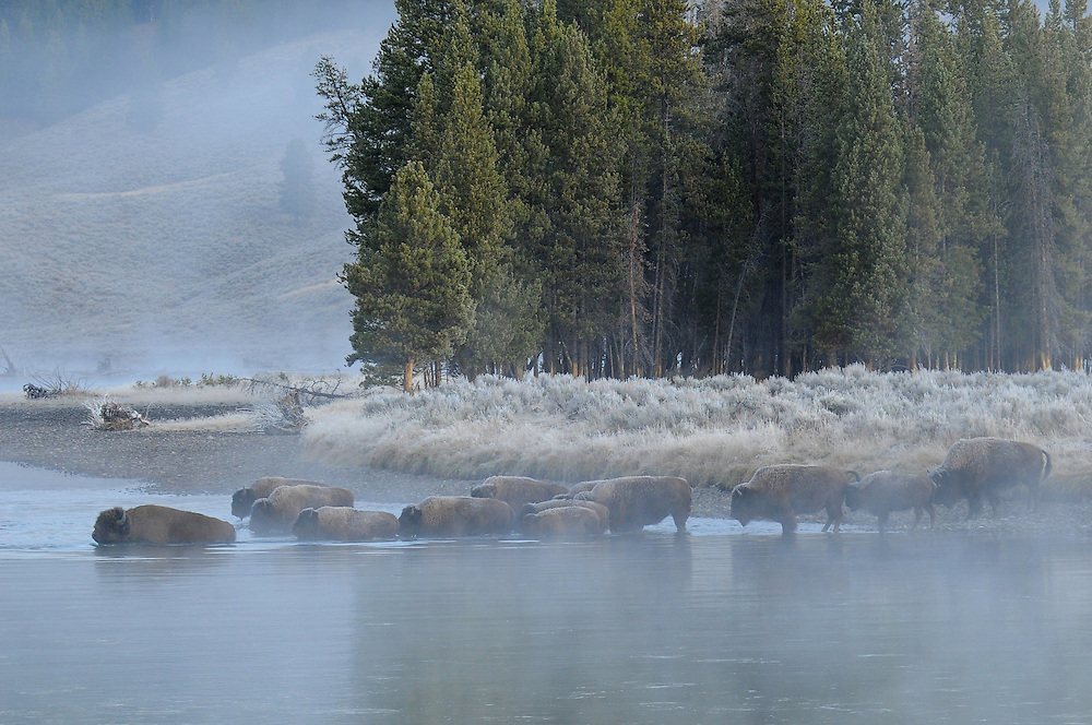 A bison herd makes an early morning crossing of the Yellowstone River in Hayden Valley. Many of the bison that summer in the Hayden Valley travel through the Mary Mountain Trail (also known as the &quot;Bison Freeway&quot;) in autumn to reach their wintering grounds near West Yellowstone, Montana.<br />