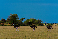 Ostriches, Nxai Pan National Park, Botswana.